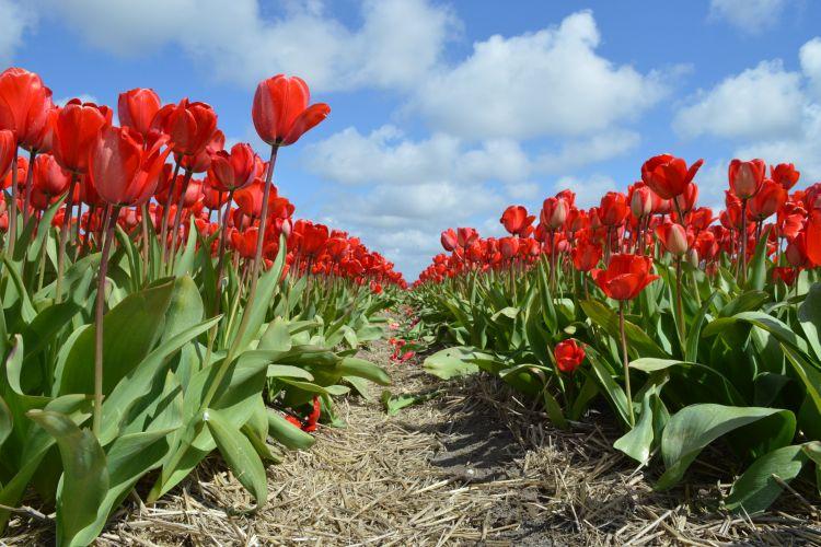 fietsen in de bollenstreek - rode tulpen