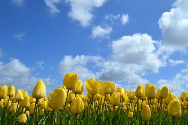 fietsen in de bollenstreek - gele tulpen