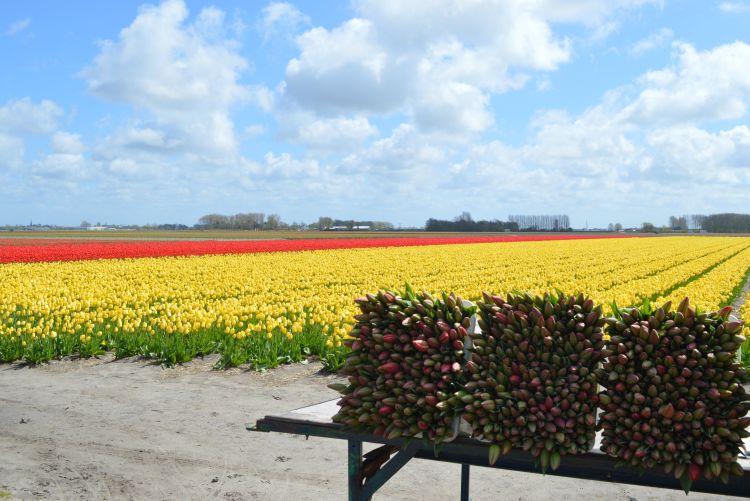 fietsen in de bollenstreek - tulpen te koop
