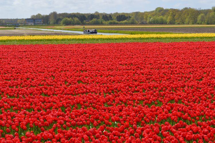 fietsen in de bollenstreek - rode tulpenveld