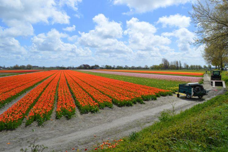 fietsen in de bollenstreek - oranje tulpenveld