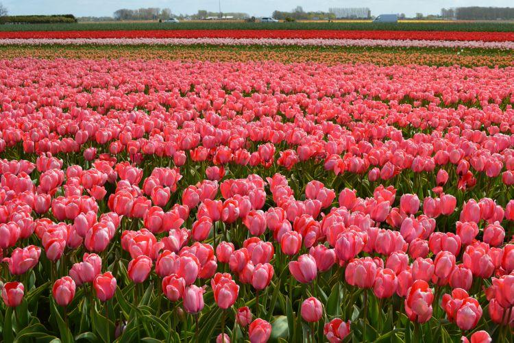 fietsen in de bollenstreek - roze tulpen