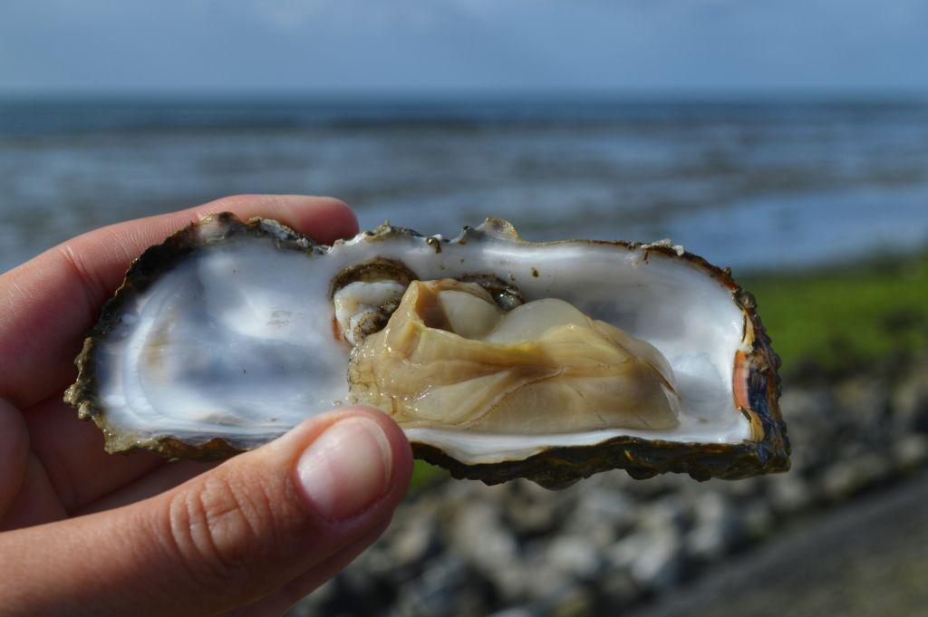 oesterproeverij op het wad - terschelling