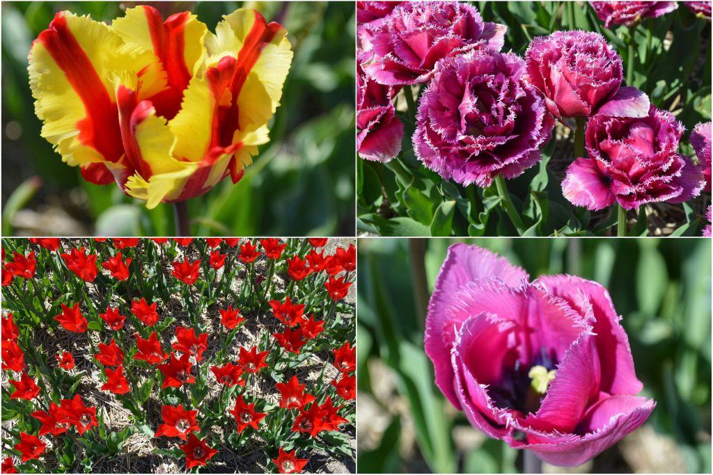 Tulpenbelevingsveld showtuin