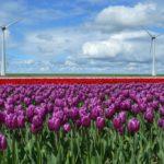 Kleurrijke tulpenpracht in de Noordoostpolder