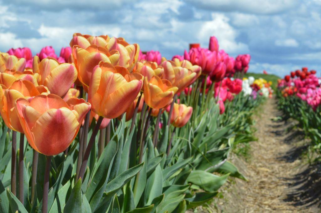 bollenvelden-noordoostpolder-tulpen-12