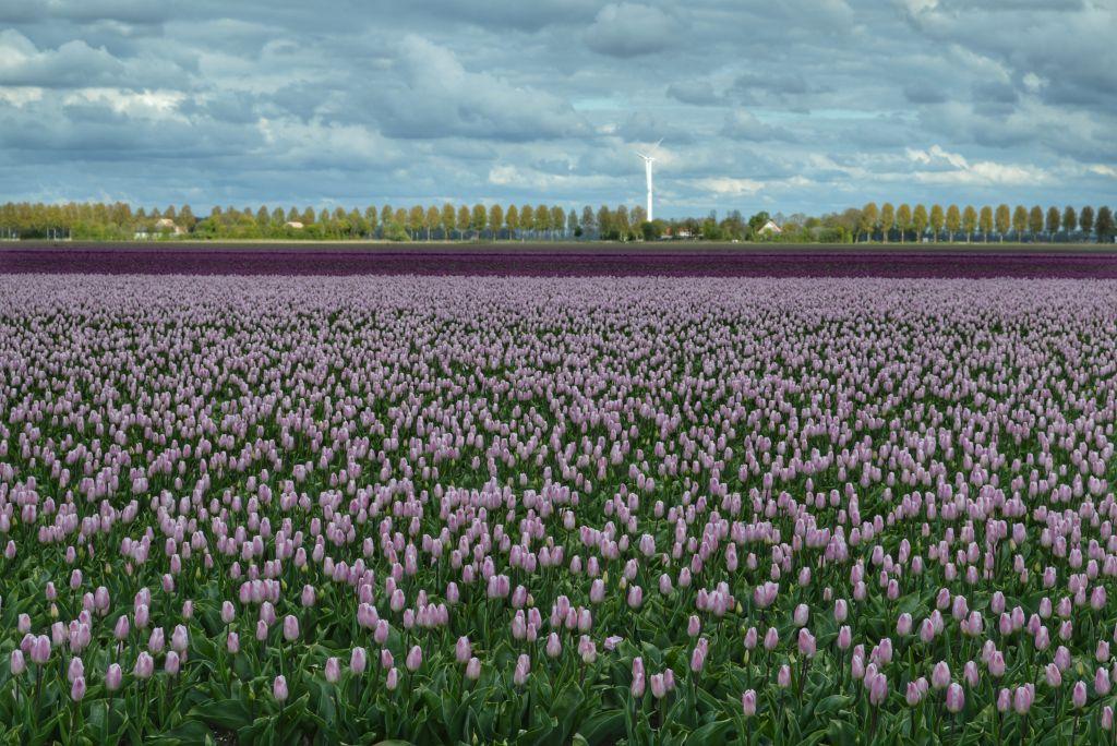 bollenvelden-noordoostpolder-tulpen-13