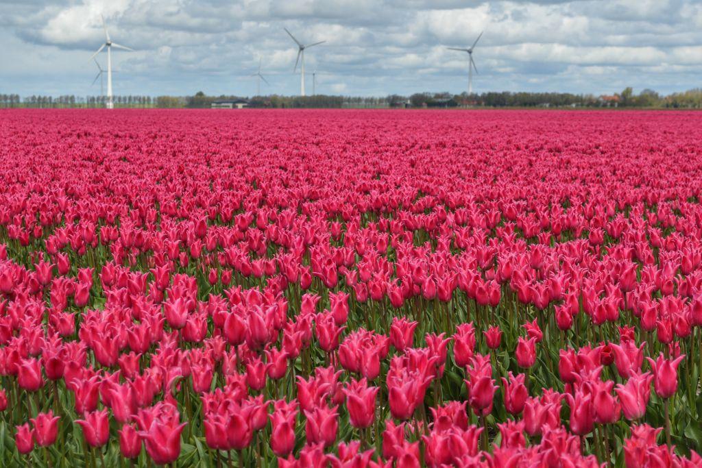 bollenvelden-noordoostpolder-tulpen-2