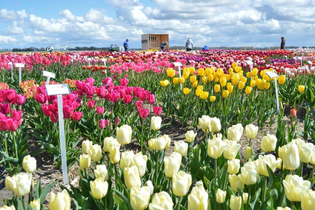 bollenvelden-noordoostpolder-tulpen-5