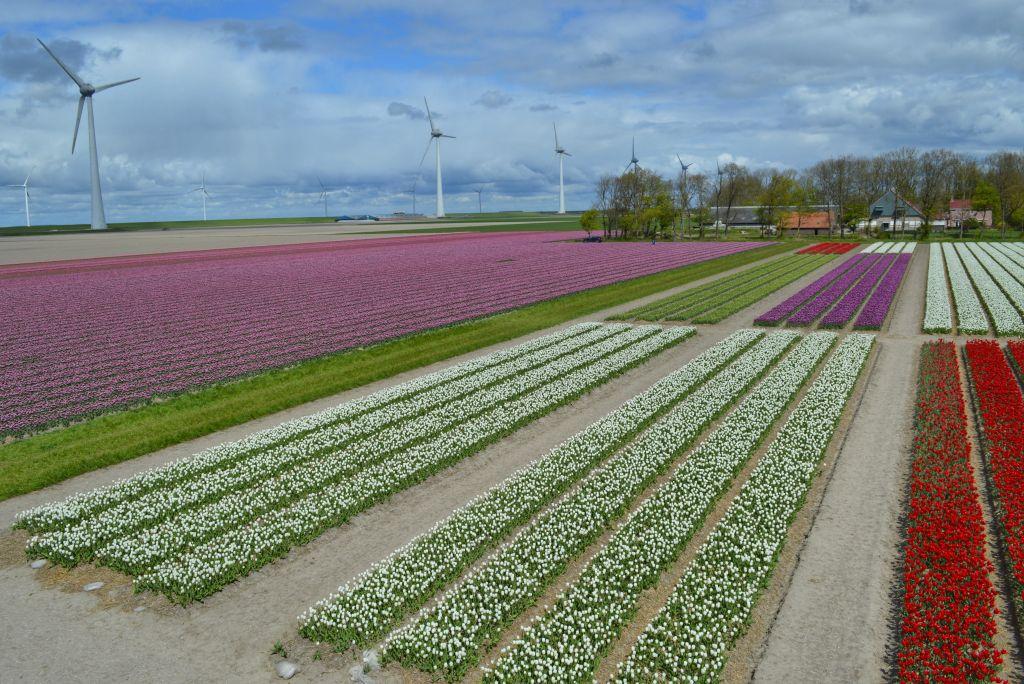 bollenvelden-noordoostpolder-tulpen-6