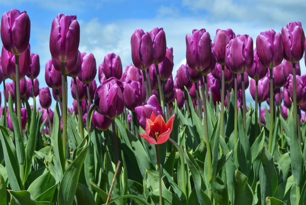 bollenvelden-noordoostpolder-tulpen-8