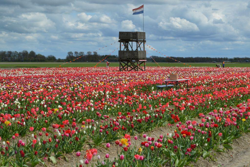 bollenvelden-noordoostpolder-tulpen-9