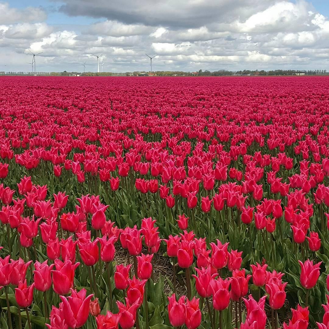 Creil Tulpenfestival Noordoostpolder