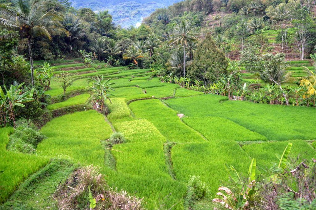 Rijstvelden Java