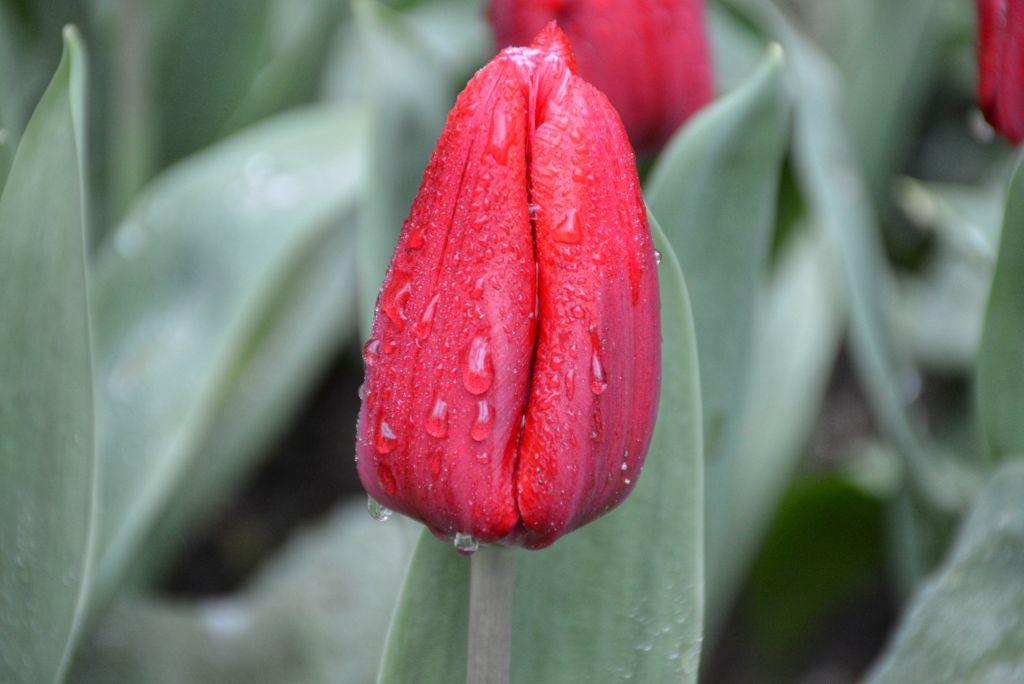 Tulpen Anna Paulowna