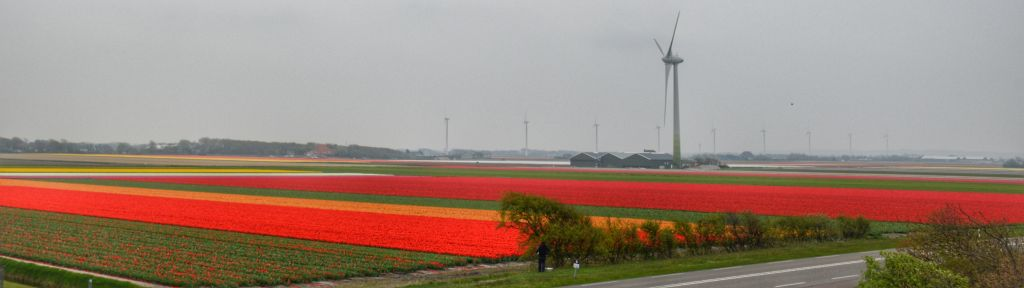 Tulpenvelden Noord-Holland