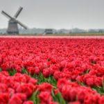 Fietsen langs de bollenvelden in de Kop van Noord-Holland