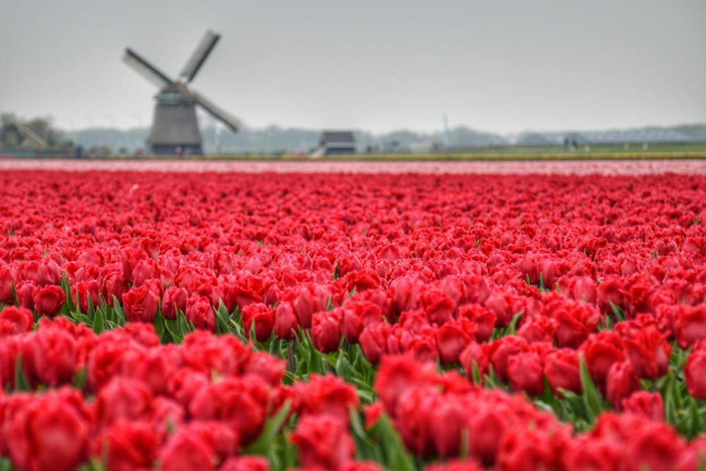 Bollenvelden Noord-Holland