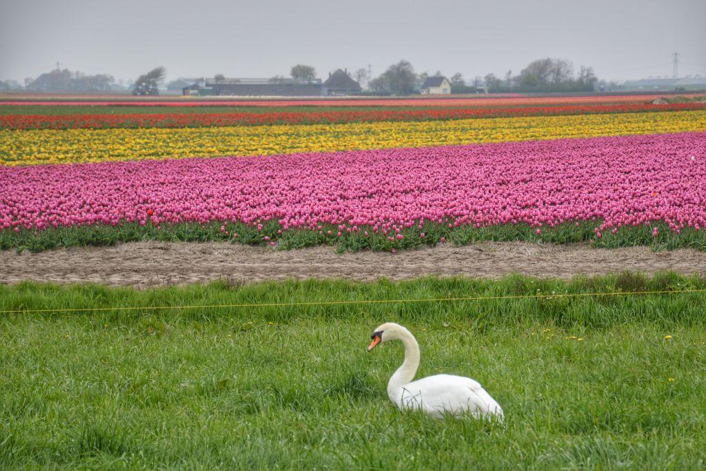 Tulpen Bloeiend Zijpe