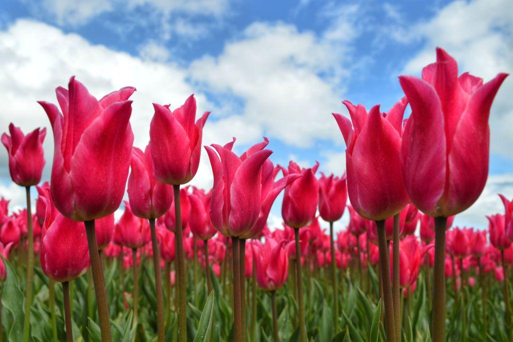 Mooie tulpenvelden Nederland