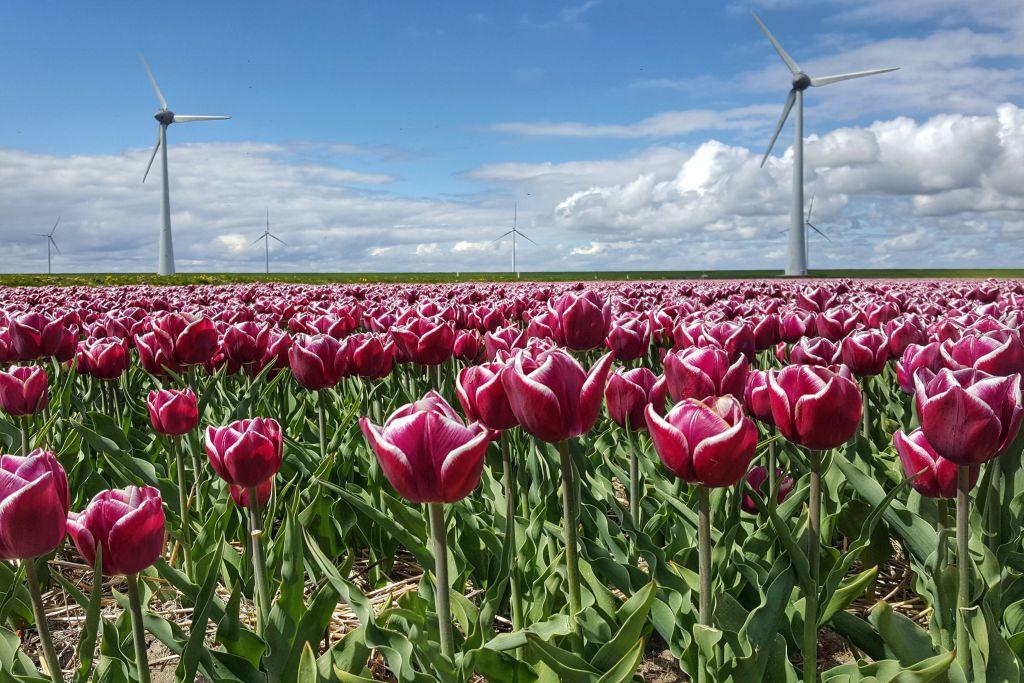 Mooie bollenvelden Nederland in de Noordoostpolder