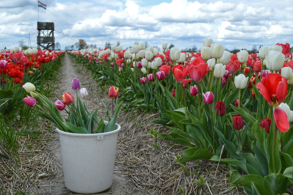 Tulpenpluktuin Marknesse