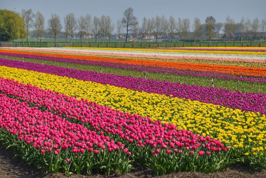 Mooie bollenvelden Nederland
