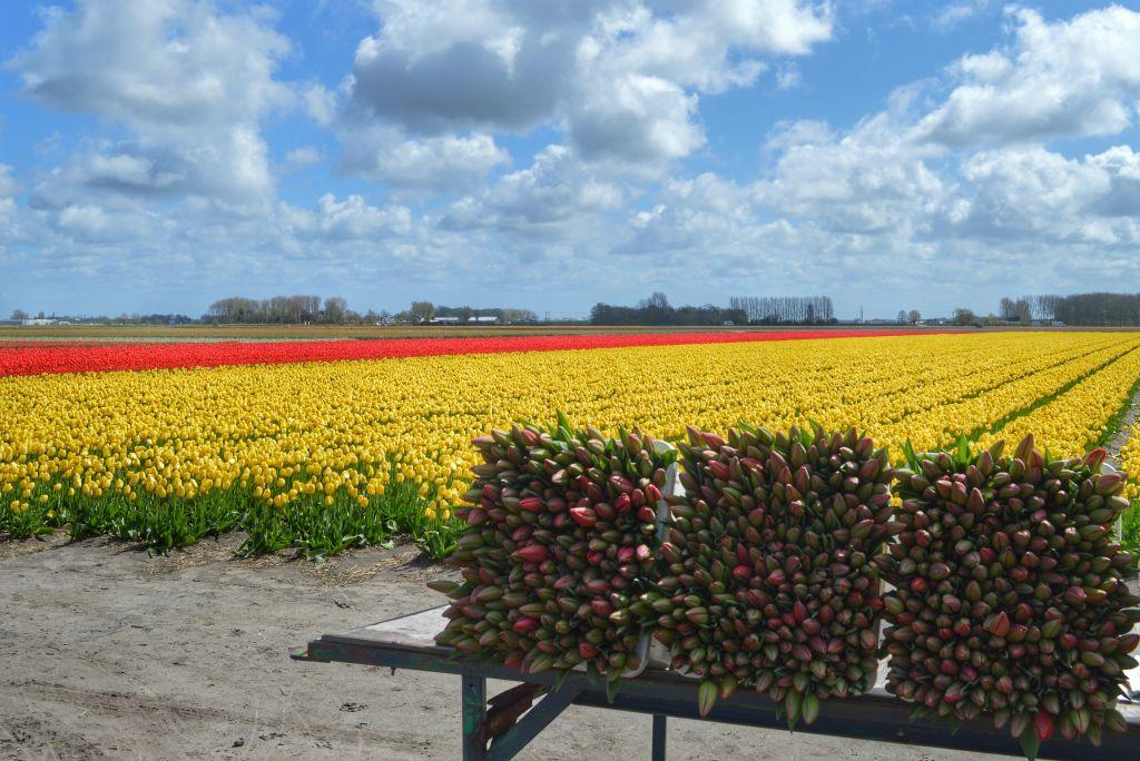Bollenstreek Nederland