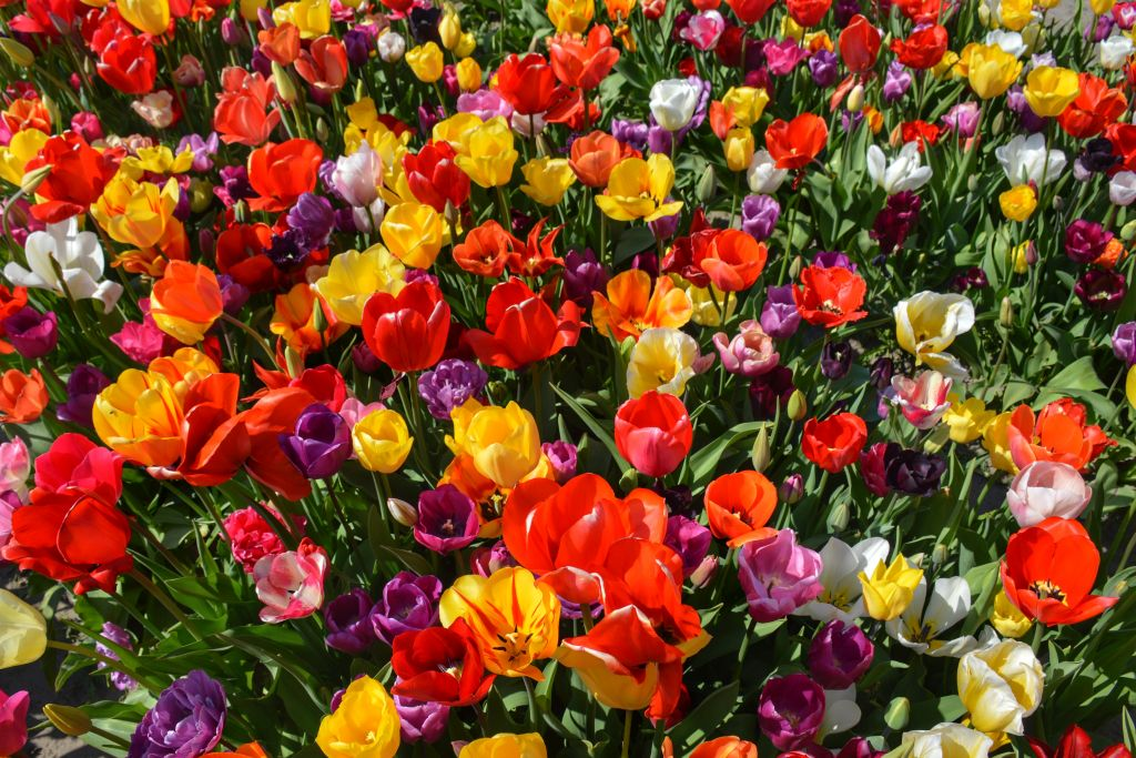 Kleurrijke tulpenzee