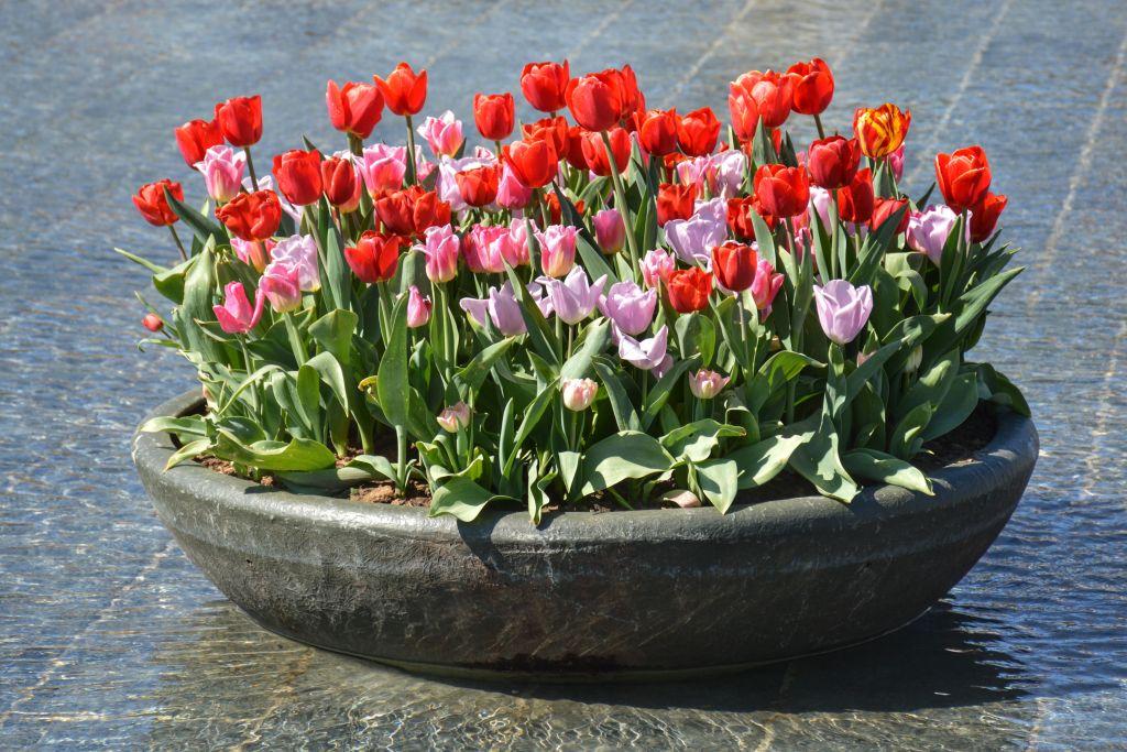 Tulpen uit Amsterdam