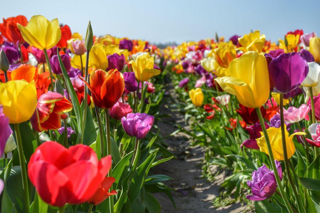 Tulpen in alle kleuren van de regenboog