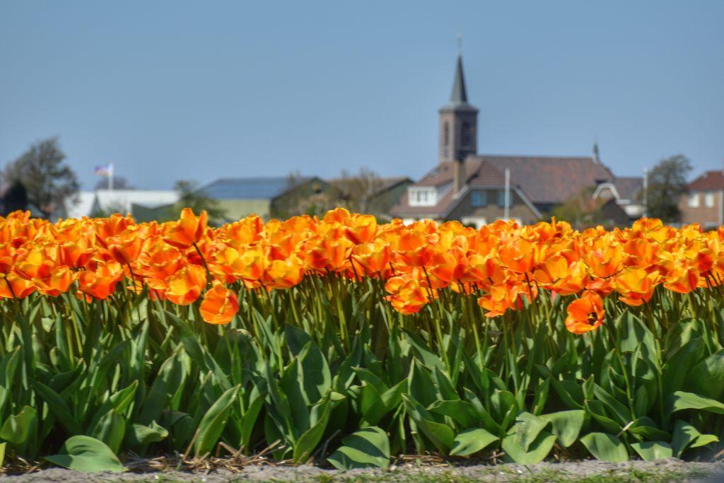 Een oranje tulpenzee