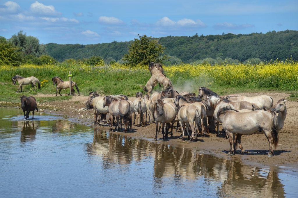 Konikpaarden - de Blauwe Kamer