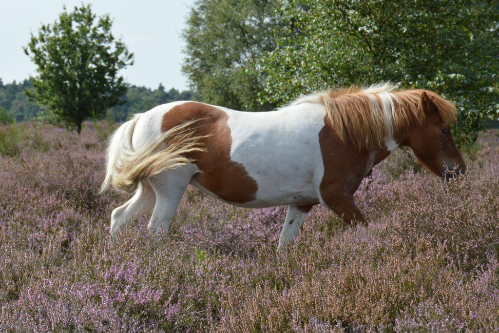 IJslandse paarden - Posbank