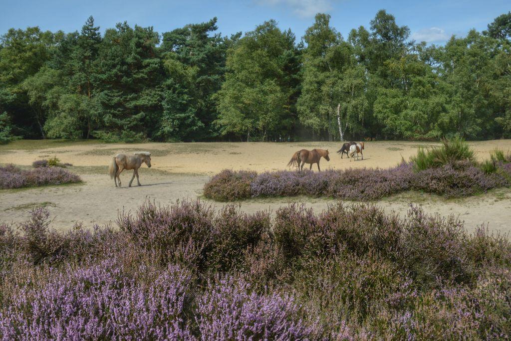 Ijslandse paarden Veluwezoom