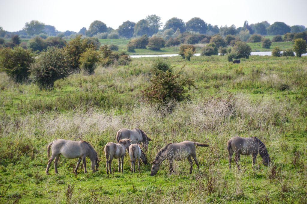 Konikpaarden in natuurgebied de Blauwe Kamer