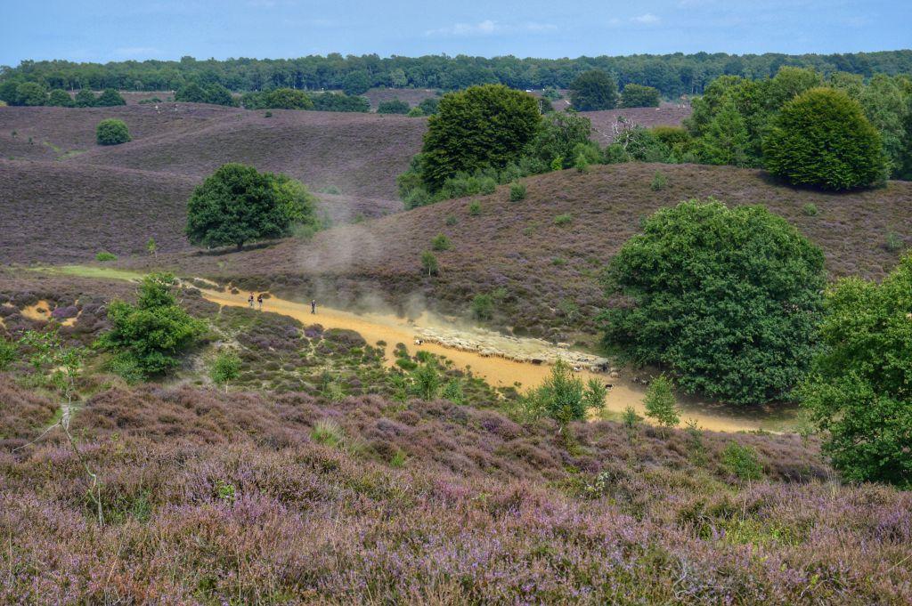 Nationaal Park de Veluwezoom- bloeiende heide Posbank