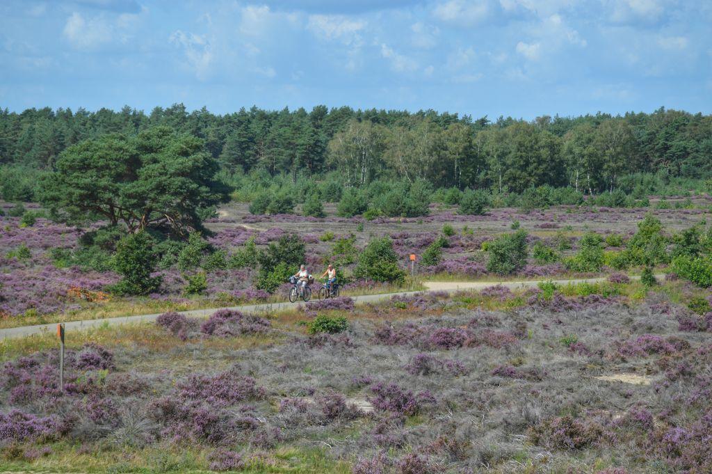 Paarse heide op de Veluwe