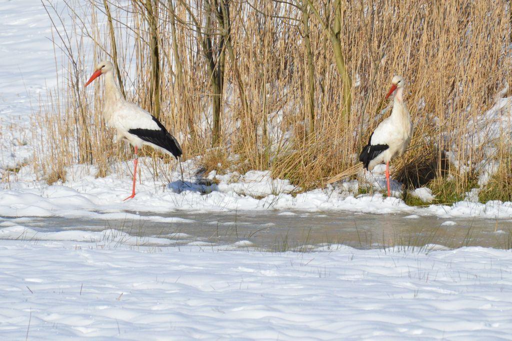 Ooievaars in de sneeuw