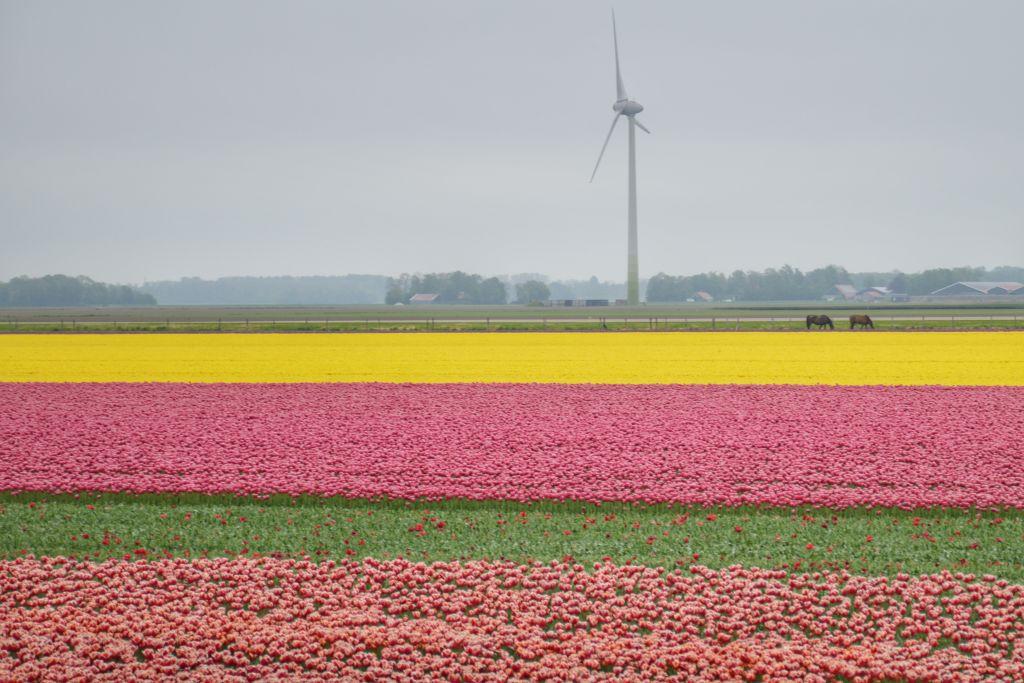 Tulpenvelden Flevopolder