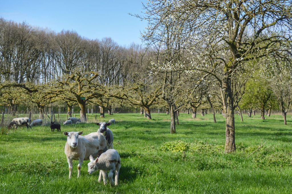 Schapen in boomgaard Landgoed Soelen