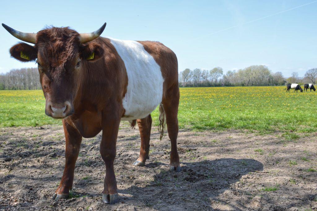 Koeien op Landgoed MAriënwaerdt