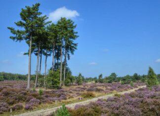Heidevelden Utrechtse Heuvelrug